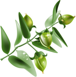 Vector illustration of Jojoba on white background